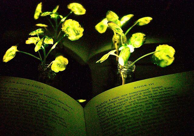 Parıldayan bitkilerin ışığıyla kitap bile okunabiliyor.