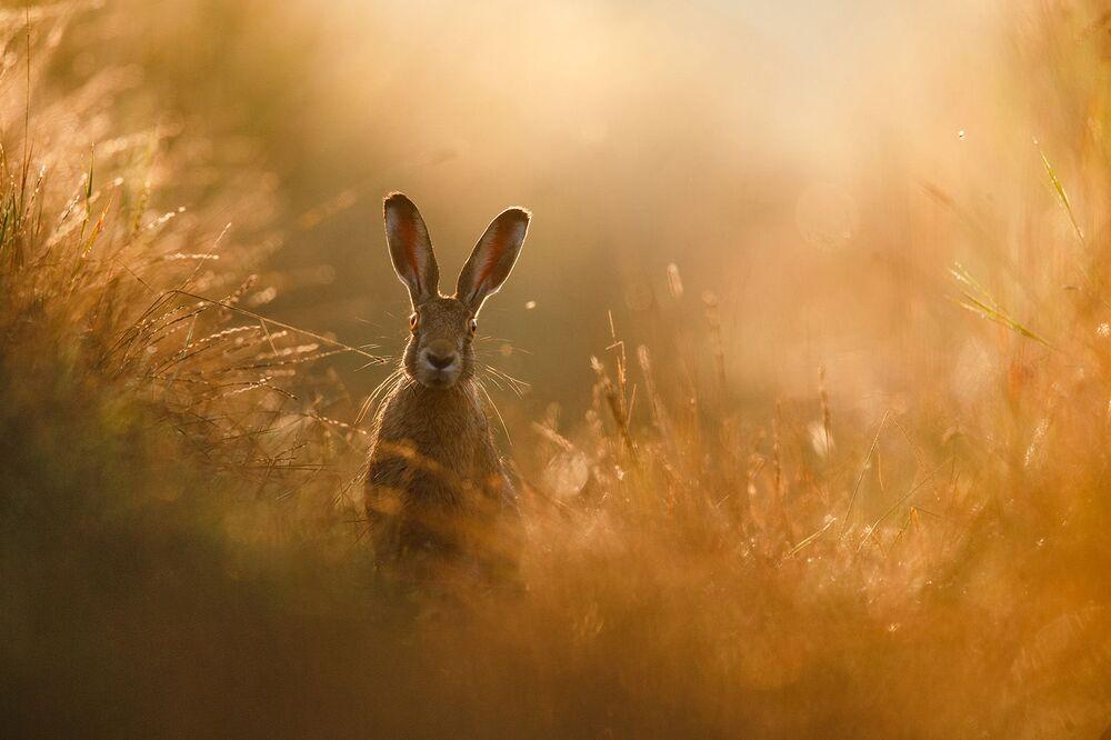 Alman Doğa Fotoğrafçılığı Derneği (GDT) tarafından düzenlenen  2020 Yılının Doğa Fotoğrafçısı Yarışmasını kazanan Peter Lindel'in tavşan görüntüsü