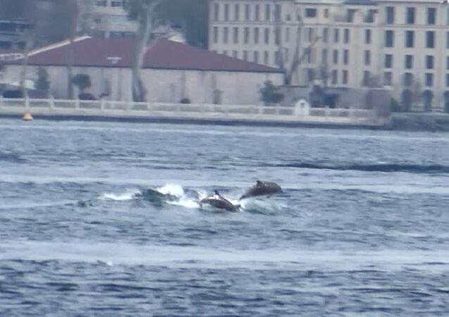 Yunusların dalgalarla dansı Üsküdar'dan görüntülendi