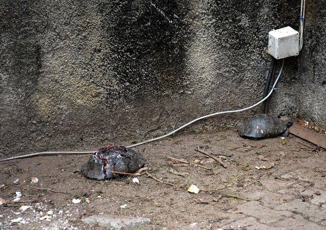 Alanya'da çok sayıda kaplumbağa taşla ezilerek telef edildi