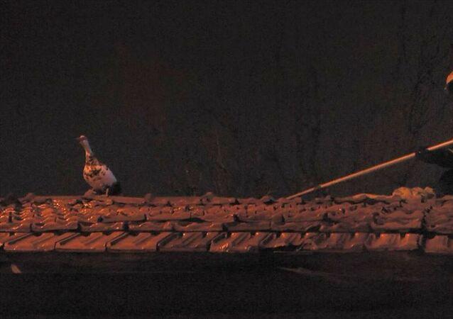 Kütahya'da iki katlı bir evin çatısında mahsur kalan yaban ördeği, Doğa Koruma Milli Parklar Şube Müdürlüğü ile itfaiye ekiplerince yoğun yağmura rağmen yaklaşık iki saat süren çalışma sonucunda kaçtığı altıncı evin çatısında kurtarıldı.