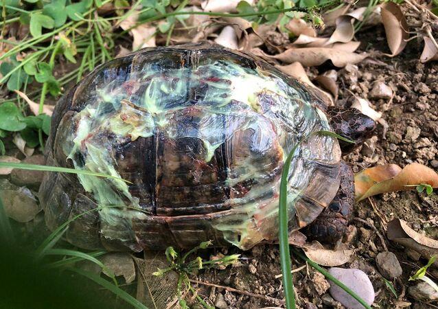 Kaplumbağalardan birinin özel bir ürünle kabukları yapıştırıldı.