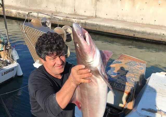 Bodrum'da ağlara takılan köpek balıkları, şaşkınlığa neden oldu.