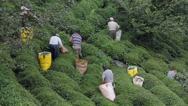 Koronavirüs salgını nedeniyle yakında başlayacak olan 2020 ürünü yaş çay alım kampanyasında toplama için gereken işçi sıkıntısını aşmak için arayışlar sürdürülüyor. - Sputnik Türkiye