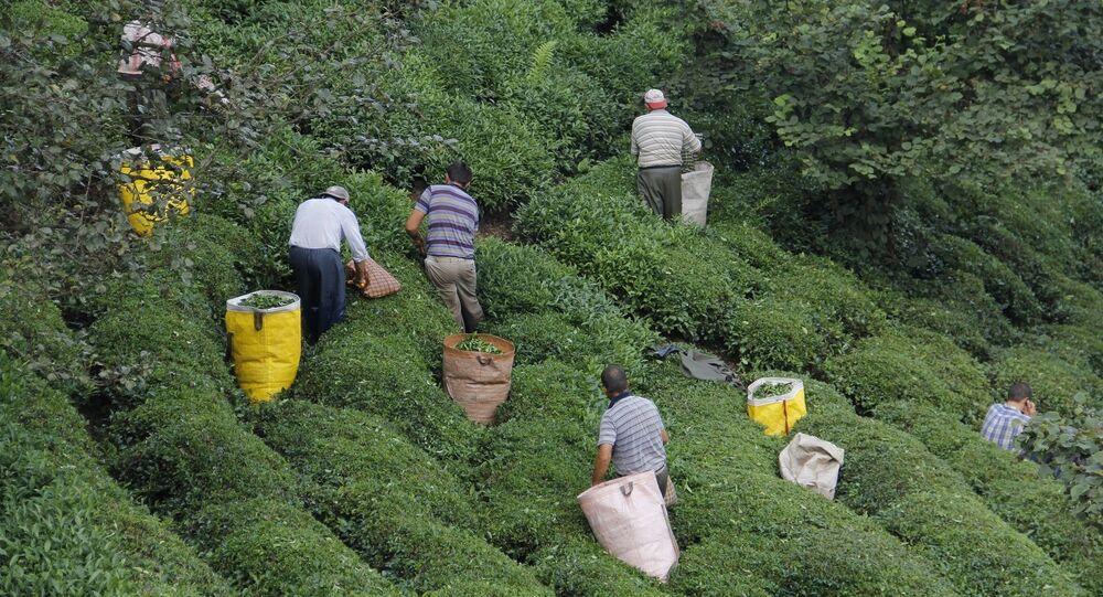 Koronavirüs salgını nedeniyle yakında başlayacak olan 2020 ürünü yaş çay alım kampanyasında toplama için gereken işçi sıkıntısını aşmak için arayışlar sürdürülüyor.