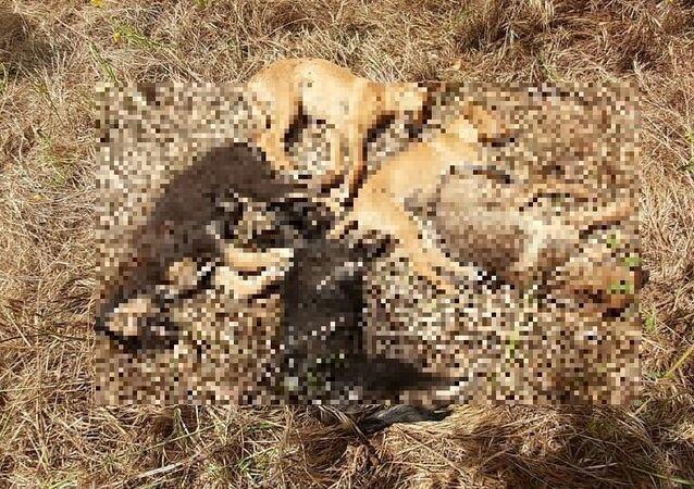 Antalya'da hayvanseverlerin parkta beslediği 11 köpek yavrusundan 5'i ölü bulunurken, kayıp olan 4 köpek ise aranıyor. Hayvanseverler, bir gün önce sağlıklı olan köpekleri kimin öldürdüğünün belirlenmesini istedi.