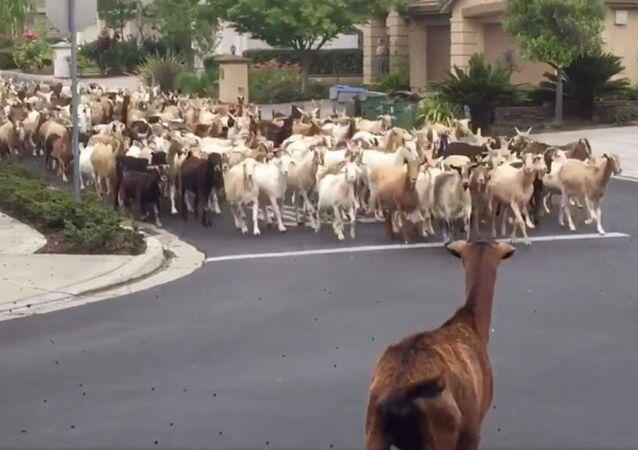 çitleri aşıp sokağa inen keçiler