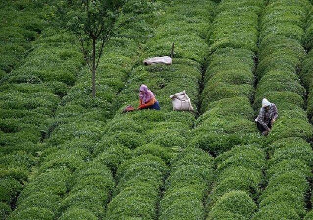 çay-çay hasadı-çay toplama