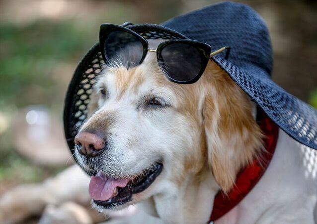 Bir vatandaş sıcak havadan korumak için köpeğine şapka taktı.
