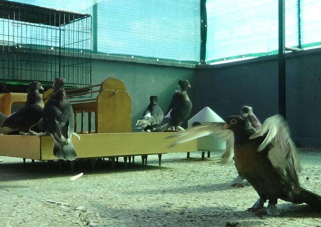 Antalya'nın Serik ilçesinde berberlik yapan Serdar Altınoluk, yaklaşık 13-14 senedir güvercin besliyor.