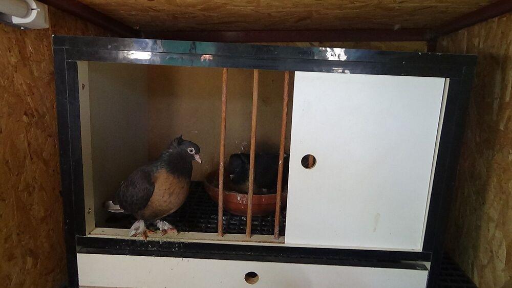 Altınoluk, günlük 2-3 defa güvercinlerin yanına gelmeden rahat edemediğini, psikolojik olarak insanları dinlendirdiğini düşündüğünü söyledi.