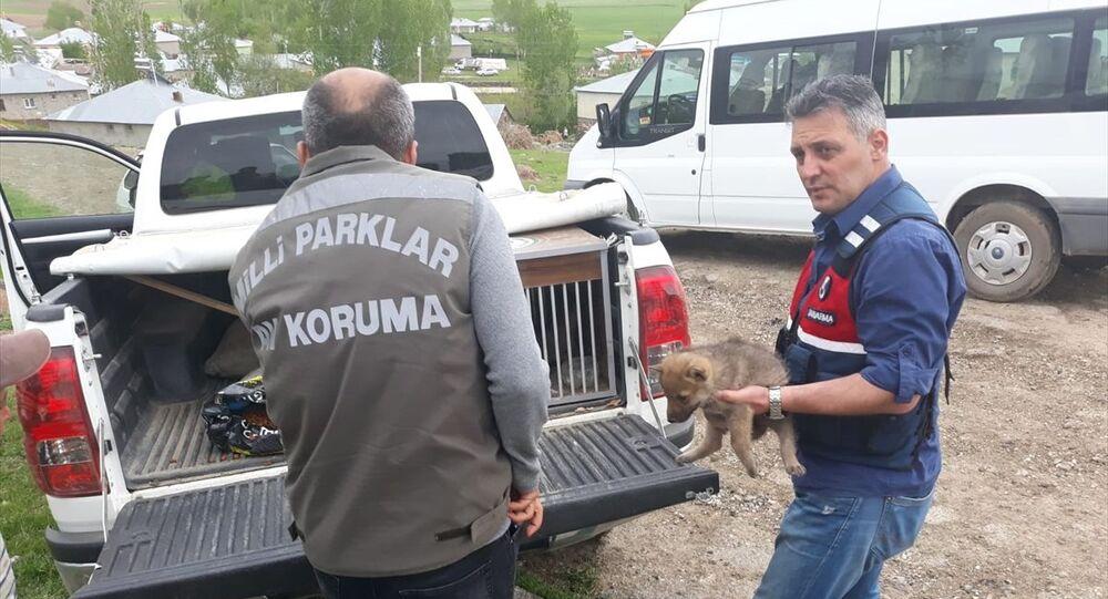 Van'ın Erciş ilçesinde yaban kurtlarını öldürerek yavrularını sahiplenen 4 kişiye 15 bin 25 lira idari para cezası uygulandı. Van Doğa Koruma ve Milli Parklar Müdürlüğü ekipleri, 3 yavru kurdu Van Yüzüncü Yıl Üniversitesi (YYÜ) Yaban Hayvanları Koruma ve Rehabilitasyon Merkezine teslim etti.
