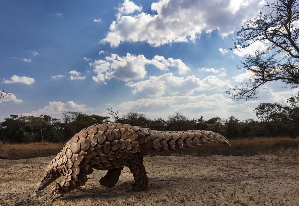 2020 Sony Dünya Fotoğrafçılık Yarışması'nın Doğal Dünya & Vahşi Yaşam (Profesyonel) kategorisinde birinci seçilen Güney Afrikalı fotoğrafçı Brent Stirton'un Pangolins in Crisis isimli çalışması