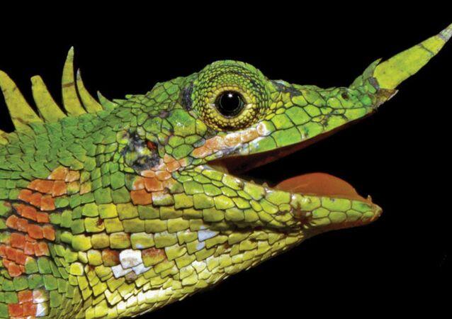 130 yıldır rastlanmayan burun boynuzlu ejderha yeniden ortaya çıktı