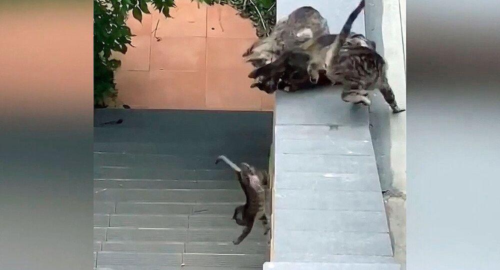 Yetişkin kediler yavru kedinin yardımına koştu
