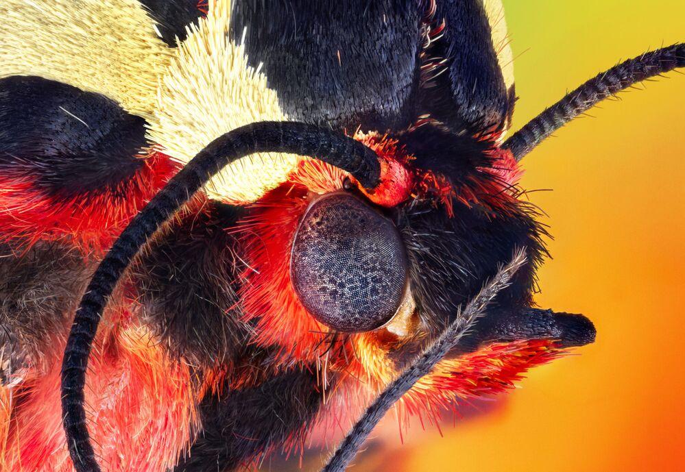 2020 Bilim Fotoğrafları Yarışmasının 'Etrafımızdaki Bilim' kategorisinde üçüncülük kazanan yarışmacı Retro Lenses'in Arctia caja türüne ait gece kelebeğinin son derece  detaylı portresi