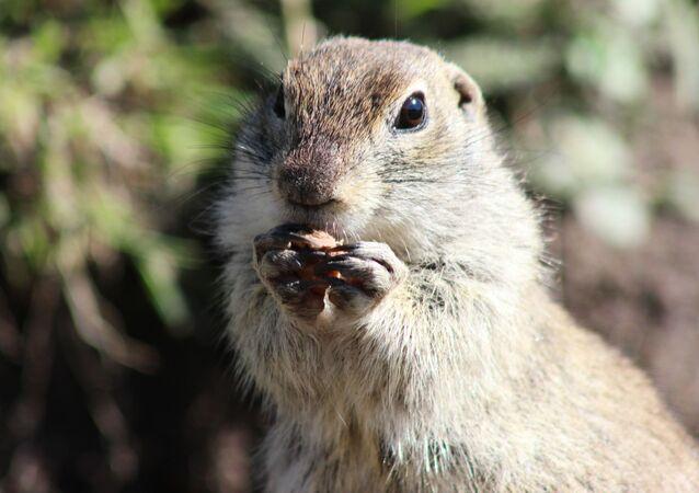 Marmot- sincapgil