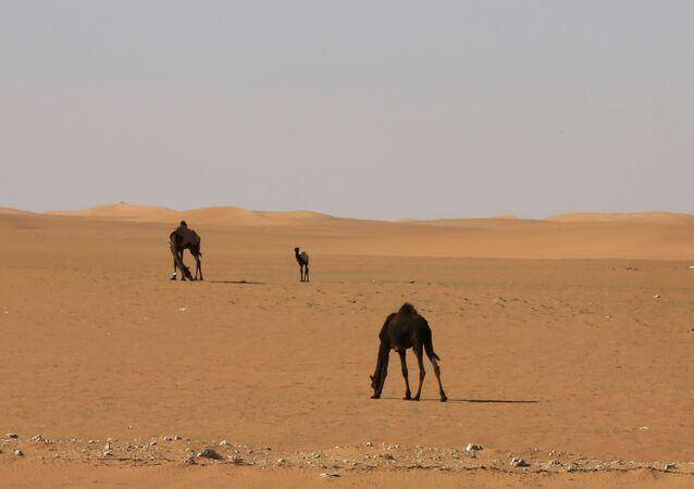 Suudi Arabistan Çölü - develer