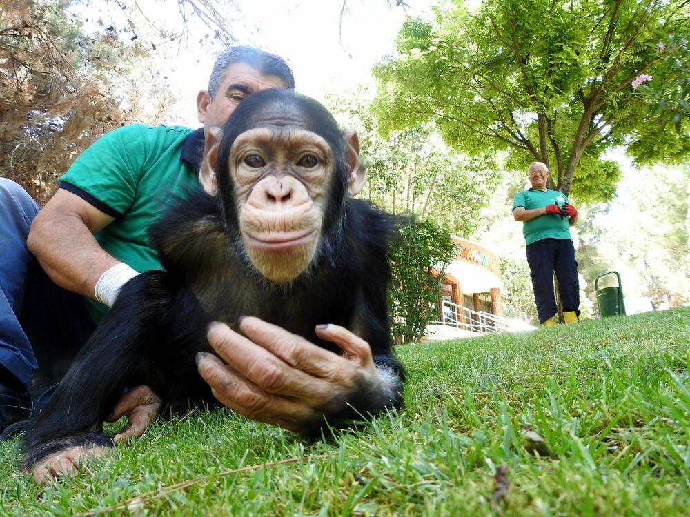 Bakıcıları tarafından bir bebek gibi büyütülen ve şu an 5 yaşında olan şempanze Can, yeni tip koronavirüs (Kovid-19) tedbirleri kapsamında 4 aydır barınağından dışarı belirli günlerde sadece 3 saatliğine çıkartılıyordu.