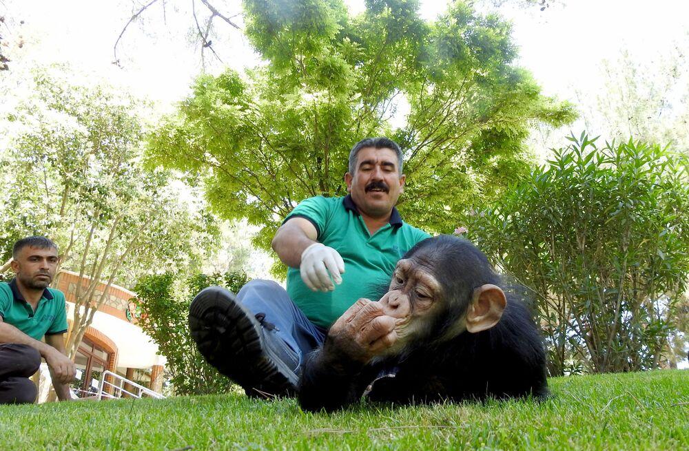 """Bakıcılarının evlerine götürerek bakımını yaptıklarını ifade eden Özsöyler, """"Hayvanat bahçemizin maymun birimindeki arkadaşlar onun yavruluktan bu zaman kadarki bakımını üstlendiler, onu evine götürüp beslenmesini sağladılar ve buradaki bakıcı arkadaşlarla aile şeklinde oldu ama bunun yanında da sosyalleşmesini engellemedik diğer şempanzelerle barınağını yan yana koyduk birebir içine bırakmadık. Belli bir sosyalleşmeden sonra Can'ı onların içerisine bırakacağız"""" dedi."""